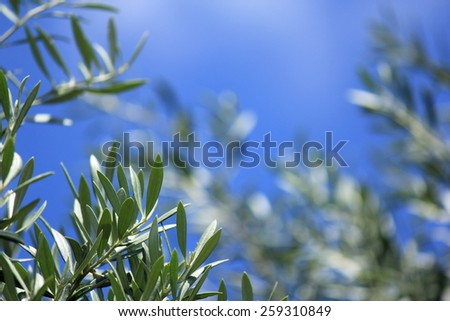 Soft focus Olive Tree leaves with Blue sky Background 5 - stock photo