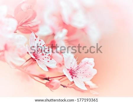 Soft focus on blooming fruit tree - flowering - stock photo