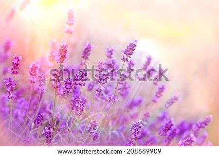 Soft focus on lavender - stock photo