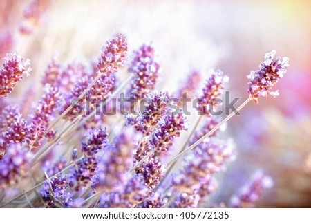 Soft focus on lavender flower