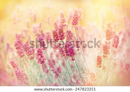 Soft focus on lavender made with color filters - stock photo