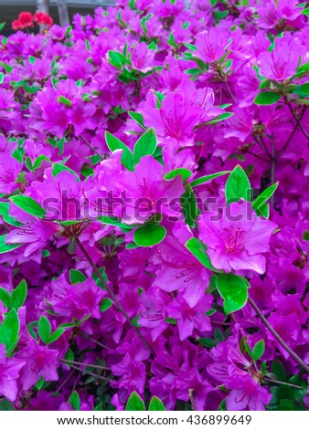 Soft focus pink flowers bloom in the garden - stock photo