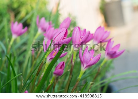 Soft focus Pink flowers blooming in garden,Rain Lily - stock photo