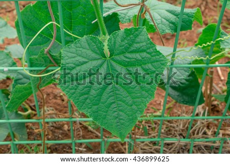 Soft focus Seedling of cucumber,leaf of cucumber - stock photo