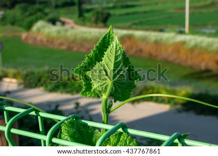 Soft focus Seedling of cucumber,leaf of cucumber on the sunny day. - stock photo