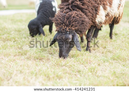 Soft focus  sheep in farm and blurred background.