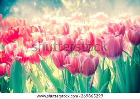 Soft focus, Tulips wet with water from the sprinkler. - stock photo