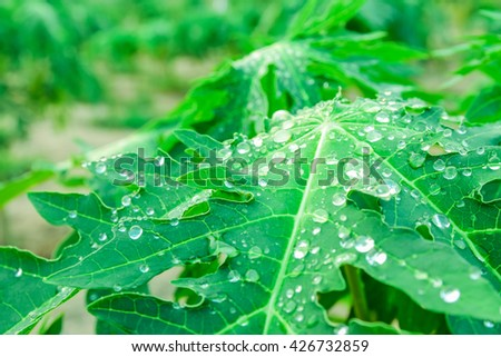 soft focus Water droplets on the leaves of papaya, Water droplets on leaves,macro water drops on green plant leaf for natural background,droplet of dew on a green leaf closeup shot, - stock photo