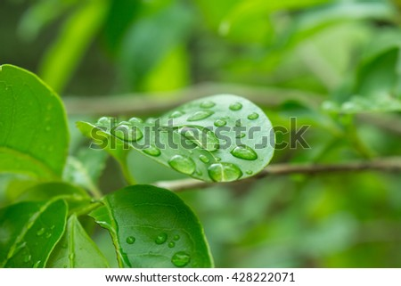 Soft focus Water droplets on the leaves , Water droplets on leaves,macro water drops on green plant leaf for natural background,droplet of dew on a green leaf closeup shot. - stock photo