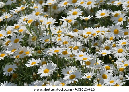 Soft focus white daisy flowers for background. - stock photo