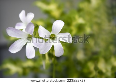 soft focus white flowers of Oxalis triangularis  - stock photo