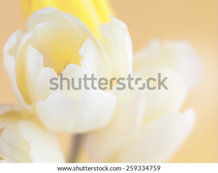 soft focused and colored flower background with yellow tulip made with color filters - stock photo