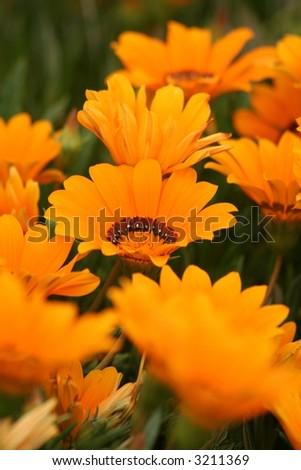 soft gazania flower - stock photo