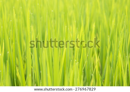 Soft green background of rice plant in rice field with drop dew. - stock photo