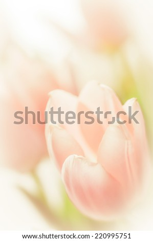 Soft image of light pink tulips  - stock photo