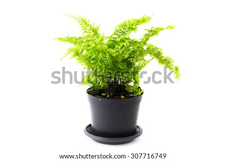 soft light tone of Ferns are growing in black pots on white background. - stock photo
