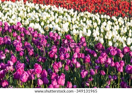 Soft morning light on rows of purple, white, and red tulip flowers at a family farm in Oregon. - stock photo