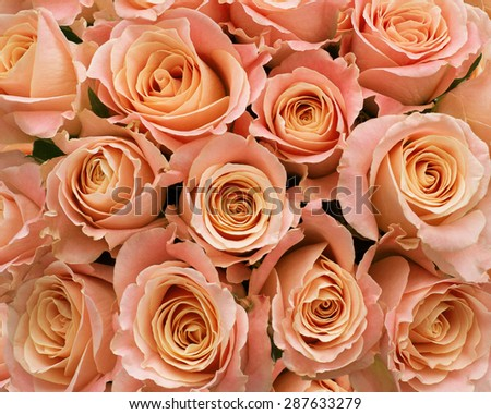 Soft pastel pink roses massed as a background