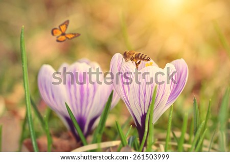 Soft photo of crocus flower early spring  - stock photo