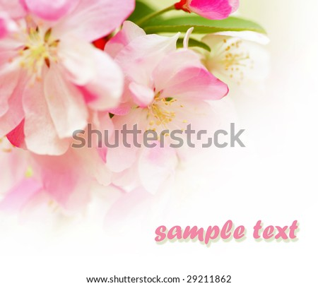 soft pink apple blossoms on white background. - stock photo