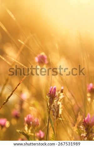 Soft pink meadow flower on sunrise nature background - stock photo