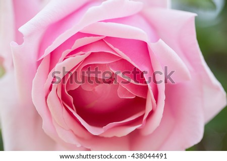 Soft Pink Rose Blooming in a Garden
