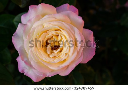 Soft pink rose flower on a dark background - stock photo