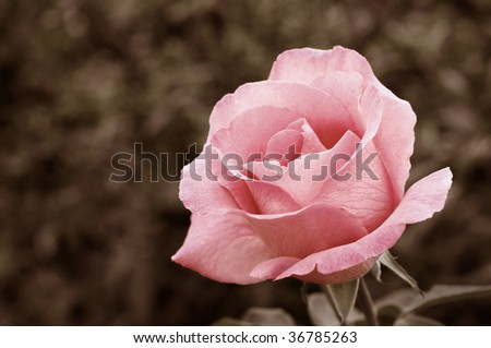 Soft pink rose in garden with extremely shallow dof.  Partially desaturated with sepia tones added. - stock photo