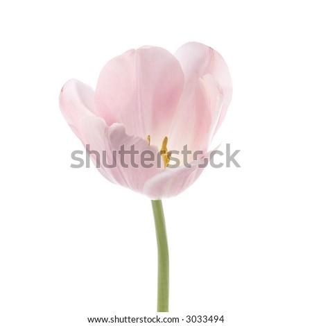Soft pink tulip - stock photo
