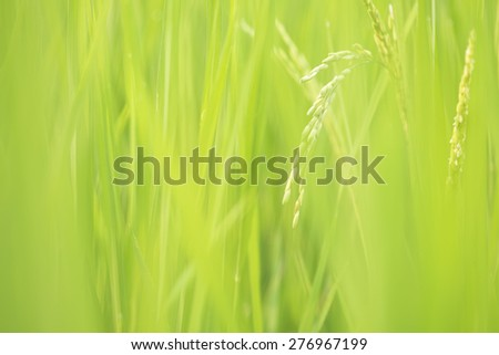 Soft rice paddy in soft green rice field. - stock photo