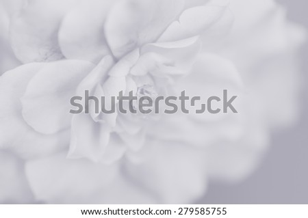 Soft rose for background in soft and blur style with color filter