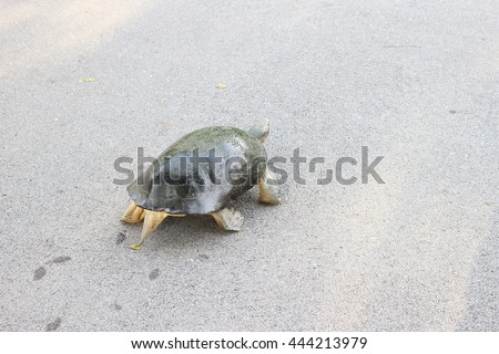 soft-shell turtles - Family: Trionychidae in The graden try to go to The river. -soft focus, select focus