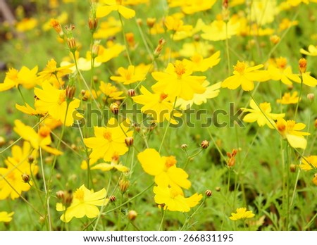 soft small cute beauty yellow grass flower field in nature looks like Climbing Wedelia, Singapore daisy blooming on the MEKONG river bank on a sunny day. - stock photo