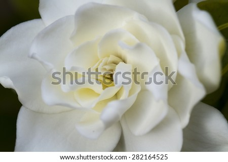 Soft white Gardenia flower close up