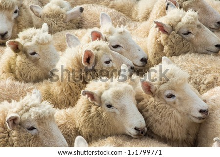 Soft wool lambs close together. - stock photo