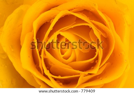 Soft Yellow Rose with water droplets