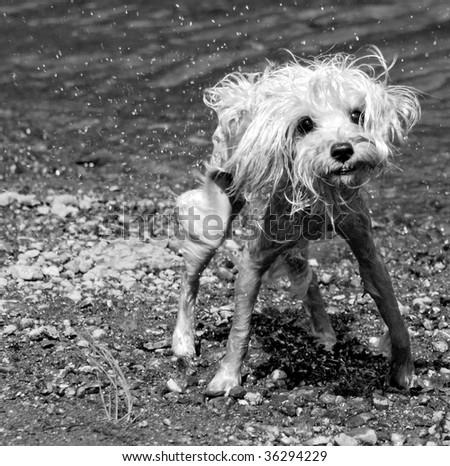 Soggy miniature schnauzer dog emerging from lake - stock photo