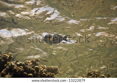 Sohal surgeonfish (Acanthurus sohal) - stock photo