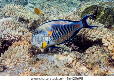 Sohal Surgeonfish on the coral reef - stock photo
