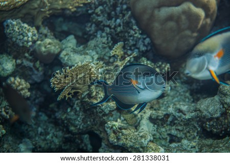 Sohal Surgeonfish on the coral reef, swimming around - stock photo