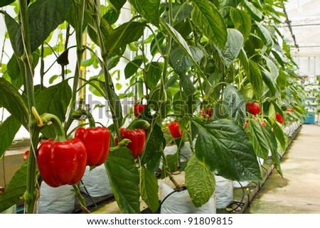 Soilless culture technology in glasshouse - stock photo