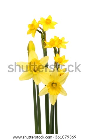 Sol D'or and traditional Daffodil flowers isolated against white - stock photo