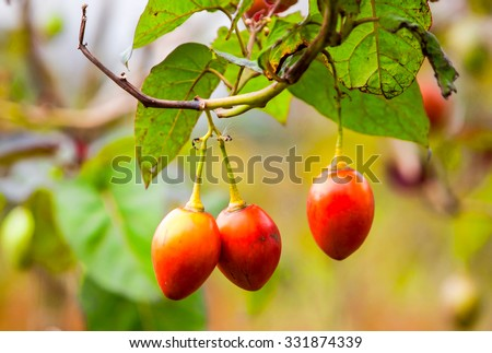 Solanum Betaceum Is A Small Tree Or Shrub In The Flowering Plant Family Solanaceae It Is Best Known As The Species That Bears The Tamarillo An Egg Shaped Edible Fruit Other Names Include Tree Tomato - stock photo
