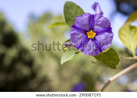 Solanum rantonnetii (Species: Lycianthes rantonnetii),  flowering plant in the family Solanaceae. It is native to Brazil, Bolivia, Argentina and Paraguay.Cultivated as ornamental the worldwide  - stock photo