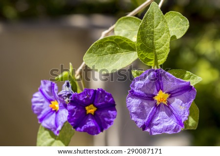 Solanum rantonnetii (Species: Lycianthes rantonnetii), flowering plant in the family Solanaceae. It is native to Brazil, Bolivia, Argentina and Paraguay.Cultivated as ornamental worldwide.  - stock photo