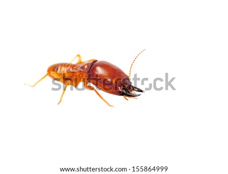 soldier termite macro shot and isolated on white - stock photo
