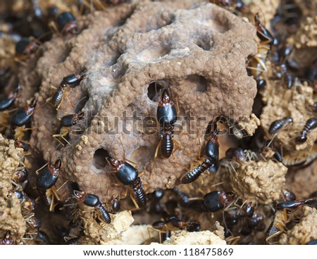 soldier termite of soil eaters - stock photo