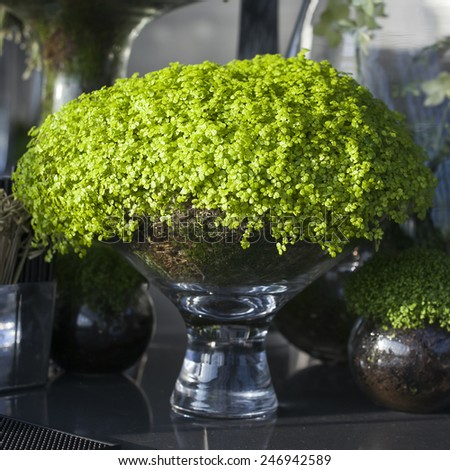 Soleirolia soleirolii in the pot as a decoration of dining table - stock photo