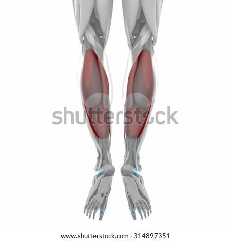 Soleus Muscles Anatomy Map Stock Illustration 314897351 - Shutterstock
