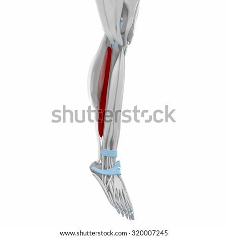 Soleus - Muscles anatomy map - stock photo